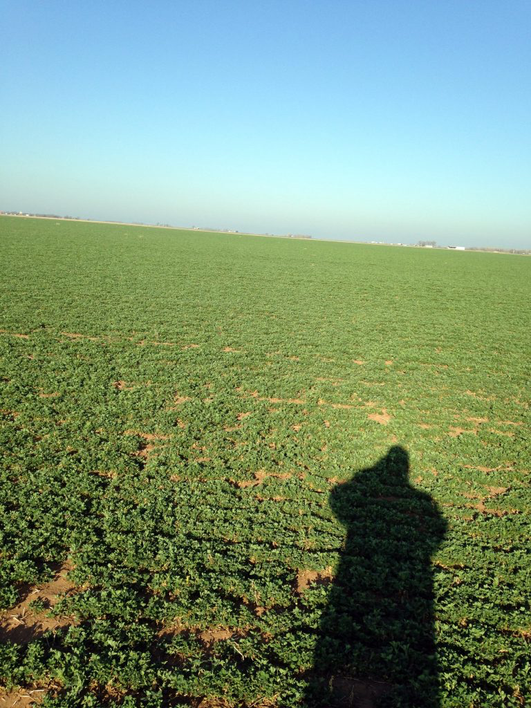 Blue Gold™ Solutions grew Alfalfa with an RFV of 227.2% and Crude Protein of 26.3% on the 5th cutting, reversed yellowing & Hollow Stem Syndrome, grew very thick hay over 2' tall, and produced 5+ tons per acre on a newly established dryland field in a drought!